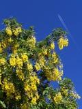 laburnumtree Royaltyfri Bild