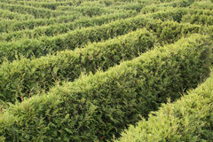 Labyrinth. A labyrinth with green hedges Royalty Free Stock Photos