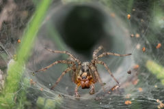 Labyrinth or Funnel-web Spider (Agelena labyrinthica). Lurking in its web or retreat Stock Photos