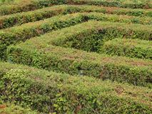 Labyrinth Maze of Orderly Cut Green Bushes Stock Image