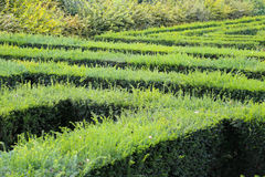 Labyrinth Maze of Tall Bushes. Royalty Free Stock Photos