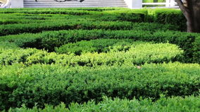 Labyrinth maze of tall bushes. Zoom. stock video