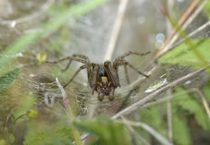 Labyrinth Spider Stock Images