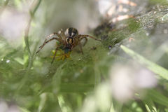 Labyrinth Spider - Agelena labyrinthica Stock Image