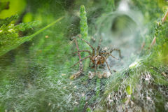 Labyrinth Spider (Agelena labyrinthica) in its web. Showing retreat behind it Stock Photo