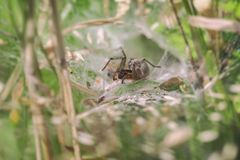 Labyrinth spider - Agelena labyrinthica. In a funnel web - makro shot Royalty Free Stock Image