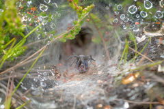 Labyrinth Spider Agelena labyrinthica. In a rain or dew covered web, showing retreat behind Stock Photos