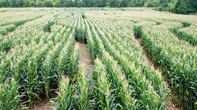 Labyrinthe de maïs Photo libre de droits