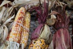 Labyrinthe ou maïs varié Photo libre de droits