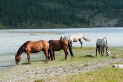 Lac Akkem, pâturage de cheval Photographie stock