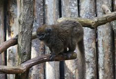 Lac Alaotra bamboo lemur, Hapalemur alaotrensis. Close up of Lac Alaotra bamboo lemur Stock Image