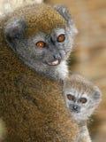 Lac Alaotra delikatny lemur Obraz Stock