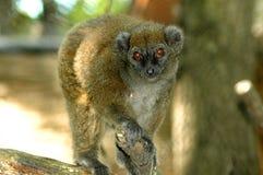 Lac Alaotra Gentle Lemur (Hapalemur alaotrensis). The rare, Madagascarian Lac Alaotra gentle lemur climbing on tree Stock Image