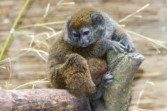 Lac Alaotra gentle lemur. (Hapalemur alaotrensis Stock Photo