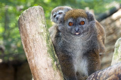 Lac Alaotra gentle lemur. (Hapalemur alaotrensis) baby Royalty Free Stock Photos