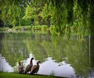 Lac avec des canards Photos stock