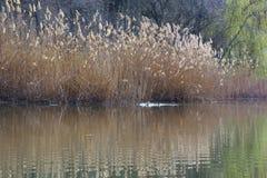 Lac avec des roseaux Images stock