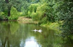 Lac avec les cygnes blancs Photos stock