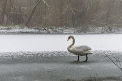 Lac blanc 19 de glace de promenade d'oiseau de cygne de neige de terre d'hiver Image libre de droits