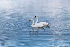 Lac bleu et cygnes blancs Images stock