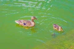 Lac de caneton de canard sauvage Image libre de droits
