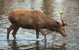 lac de cerfs communs Photos stock