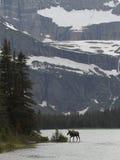 Lac de croisement d'orignaux Images stock