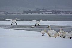 Lac de cygne de Rongcheng photo stock