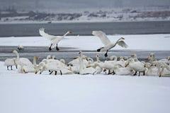 Lac de cygne de Rongcheng Images stock