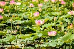 Lac de fleur de Lotus Photos libres de droits