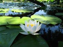 Lac de fleur de nénuphar sur l'eau sous la branche de saule Photos libres de droits
