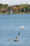 lac de vol au-dessus des mouettes Photos libres de droits
