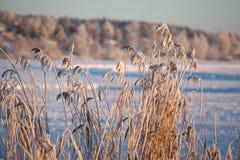 Lac et roseau congelés Photo stock