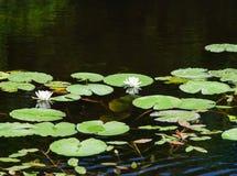 Lac forest avec des lis image stock