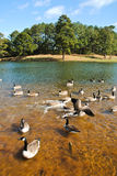 Lac geese Photo stock