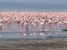 Lac Nakuru de flamants Photographie stock libre de droits