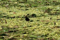 Lac nicaragua marchant sur l'eau Image stock