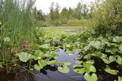 Lac pad de Lilly photographie stock