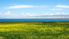Lac Qinghai et fleurs jaunes photos stock