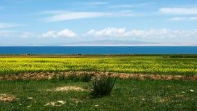 Lac Qinghai et fleurs jaunes photographie stock
