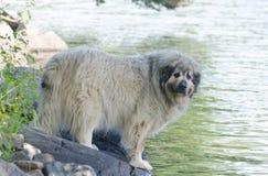 Lac se tenant prêt dog pyrénéen de montagne en été photo libre de droits