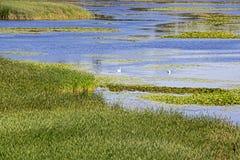 Lac summer avec des roseaux photos stock