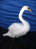 Lac swan Image stock