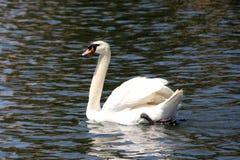 Lac swan Photo libre de droits