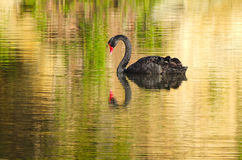 Lac swan Photographie stock