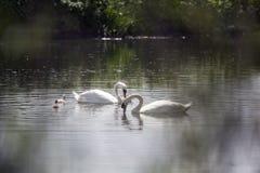 Lac swan Photos libres de droits