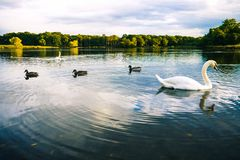 Lac swan Photo stock