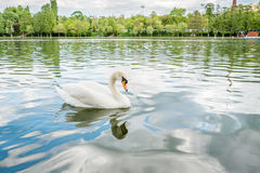 Lac swan Photo libre de droits