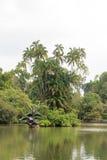 Lac swan dans les jardins botaniques de Singapour Images libres de droits