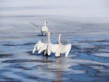 Lac swan en Suède Photographie stock